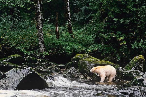 Kermode Black Bear (Ursus americanus kermodei) looking for salmon along small stream on Princess Royal Island, British Columbia.  Sept.