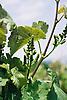 unripe bunch of grapes<br /> <br /> racimo de uvas no maduras<br /> <br /> unreife Trauben<br /> <br /> 1840 x 1232 px<br /> 150 dpi: 31,16 x 20,86 cm<br /> 300 dpi: 15,58 x 10,43 cm<br /> Original: 35 mm