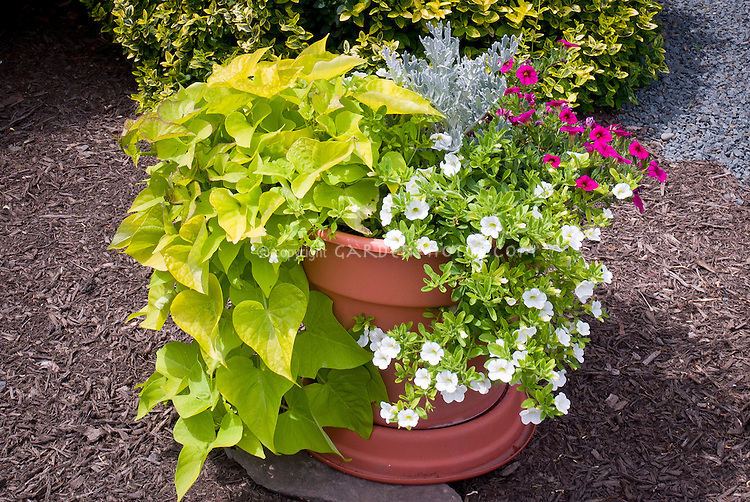 Annuals, foliage and flowering: Ipomoea Margarita sweet potato vine, Calibrachoa, container planting pot of annual flowers and foliage plants, variegated Euonymus shrub, Senecio Dusty Miller Silver dust, wood mulch, pebble stones
