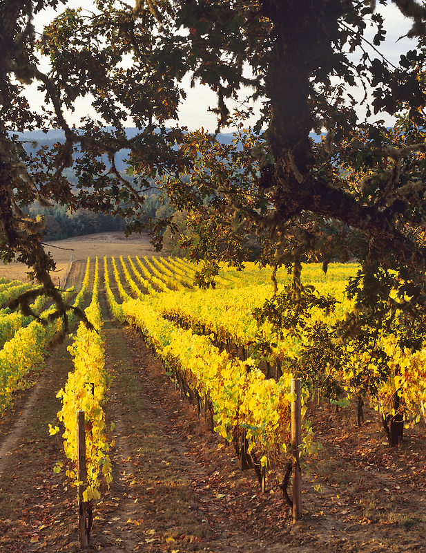 Alpine Vineyards in fall color with oak tree. Near Alpine, Oregon.