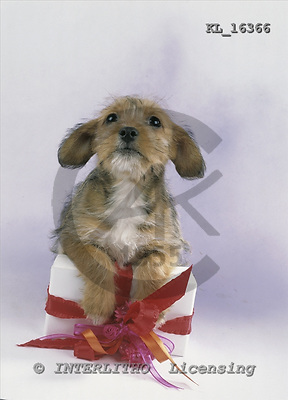 Interlitho, Alberto, ANIMALS, dogs, photos, brown puppies, gift, KL16366,#a# Hunde, perros