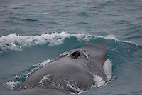 Fin Whale, Balaenoptera physalus, surfacing with open blowholes. Spitsbergen, Arctic Norway, North east Atlantic