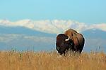 American Bison Bull