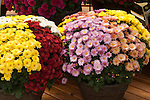 CHRYSANTHEMUM 'CHELSEY PINK', 'CHELSEY CORAL', 'CHELSEY YELLOW', 'DANIELLW RED', YODER GARDEN MUM MIX