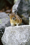 North American pika alertly watches from atop a rock, Mt. Rainier National Park, Washington, USA