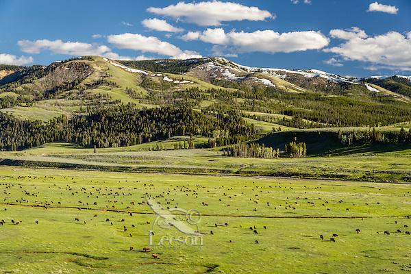 Bison herd grazing in Lamar Valley, Yellowstone NP, Wyoming.  June.