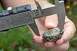 Measuring Diamondback Terrapin