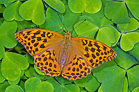 Kaisermantel, Silberstrich, Weibchen, Argynnis paphia, Silver-washed fritillary, female, Le Tabac d'Espagne, Edelfalter, Nymphalidae