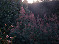 The soft pink in this densely planted bed takes on an ethereal quality in the early morning light