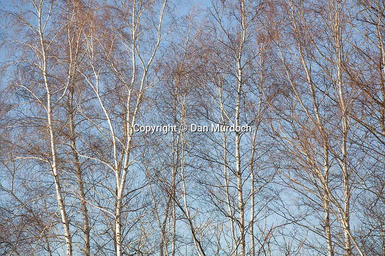 Bare, leafless birch trees under clear blue sky
