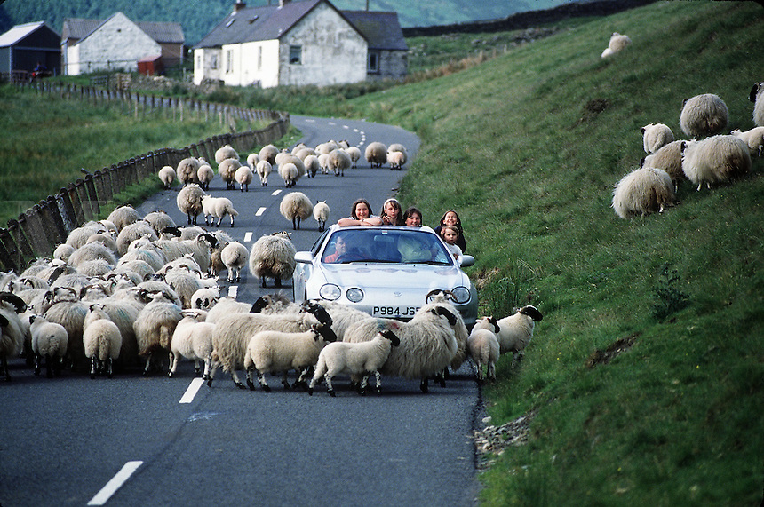 A car on a rural roadway in Scotland is surrounded by a flock of sheep crossing the road.
