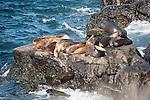 La Jolla Cove, La Jolla, California; California Sea Lions (Zalophus californianus) on the rocky shoreline at La Jolla Cove