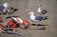 gulls and freshly butchered short fin mako sharks, Isurus oxyrinchus, Mexican shark fishery, Isla Magdalena, Baja, Mexico, Pacific Ocean
