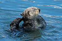 Sea Otter (Enhydra lutris) grooming. California coast.