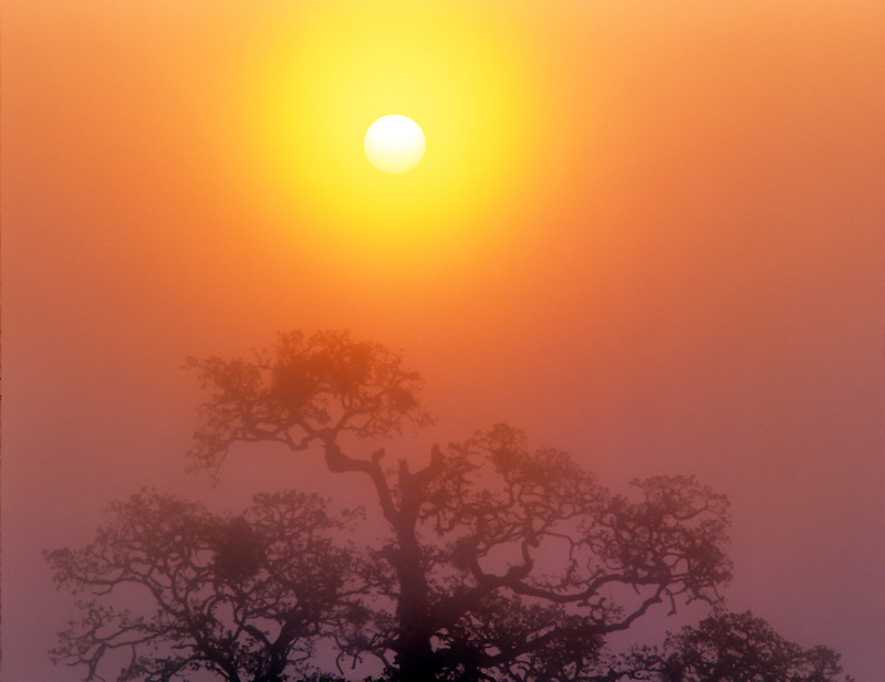 Oak tree with fog and sunrise. Finley Wildlife Refuge, Oregon.