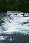 Alaskan brown bear fishing at Brooks Falls.