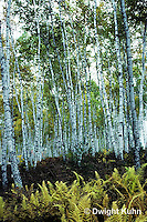TT14-004a  Forest - white birch in autumn - Betula papyrifera