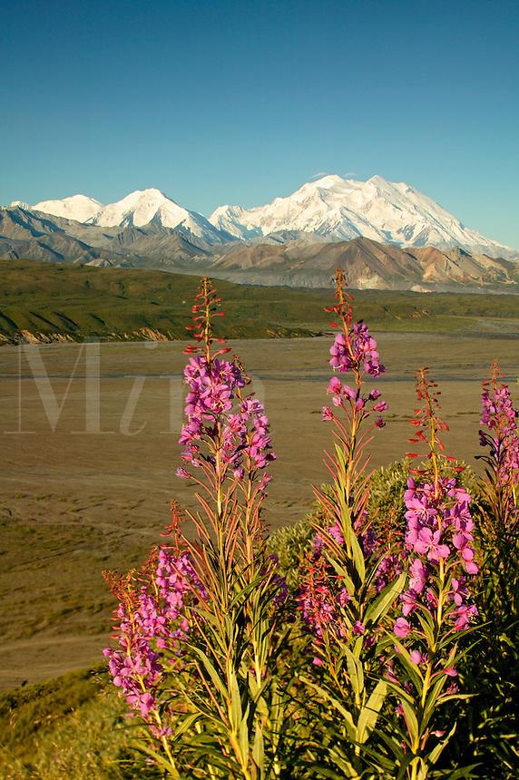 Mt. McKinley and fireweed, Denali National Park, Alaska.