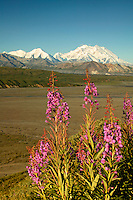 Mt. McKinley and fireweed, Denali National Park, Alaska.