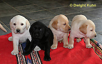 SH37-534z Lab Puppies - Genetic variation of black, yellow and white, 4 weeks old,  Labrador Retriever..