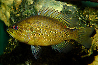 Green sunfish, Lepomis cyanellus, Florida