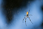 Brazoria County, Damon, Texas; a large female golden silk orb-weaver spider sitting in its web, waiting for prey, with an early morning blue sky visible in the background between the dark leaves and tree branches