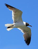 Post breeding adult laughing gull