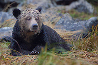 Grizzly Bear waiting for the rain to end