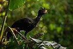 Great Curassow (Crax rubra) male, Osa Peninsula, Costa Rica