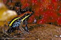 Manu poison frog (Ameerega macero) male calling in the rain among leaf litter in lowland tropical rainforest, Manu National Park, Madre de Dios, Peru.