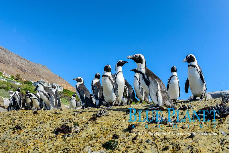 African penguin, Spheniscus demersus,  adults, Boulders Beach, False Bay, Simons Town, South Africa