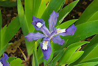 Iris cristata Abbeys Violet in spring flower with foliage leaves