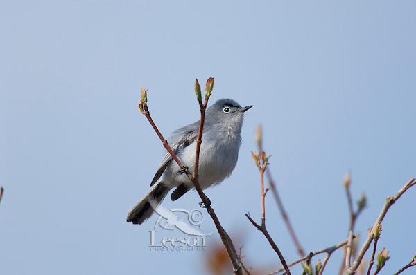 Male Blue-gray Gnatcatcher (Polioptila caerulea).  Great Lakes region.  May.