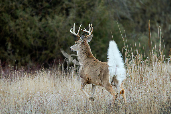 White-tailed Deer Buck (Odocoileus virginianus) signalling other deer with white flag (tail) up that an intruder is in the woods.  Fall.