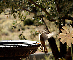 Yellow finch landing for water