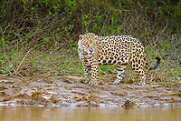 Jaguar (Panthera onca), adult, standing on the edge of a river, Pantanal, Mato Grosso, Brazil, South America