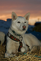 "Jim Lanier's dog ""cripple"" rests on Wednesday morning at the Nikolai checkpoint.  2005 Iditarod Trail Sled Dog Race."
