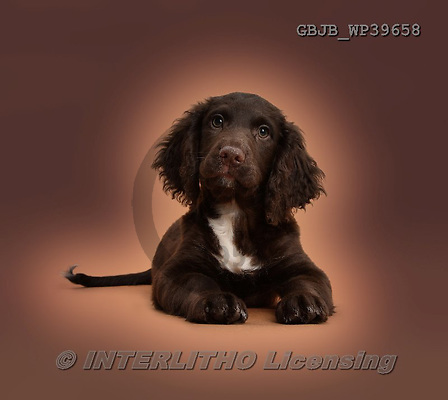 Kim, ANIMALS, REALISTISCHE TIERE, ANIMALES REALISTICOS, dogs, photos,+Chocolate Cocker Spaniel puppy Lying with head up on brown background.,++++,GBJBWP39658,#a#