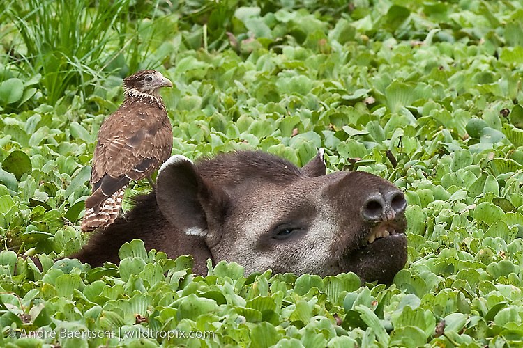 Brazilian Tapir (Tapirus terrestris) in a pond covered with water cabbage (Pistia stratiotes), a juvenile Yellow-headed Caracara (Milvago chimachima) is looking for ticks, tropical dry forest during dry season, Kaa-Iya del Gran Chaco National Park, Santa Cruz, Bolivia.