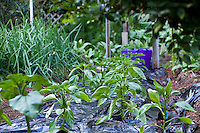"Young pepper plants in raised bed organic garden with black row cover to warm soil; MUST CREDIT ""From the garden of Elvin Bishop"""