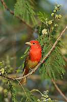 Summer Tanager (Piranga rubra), young male, South Padre Island, Texas, USA