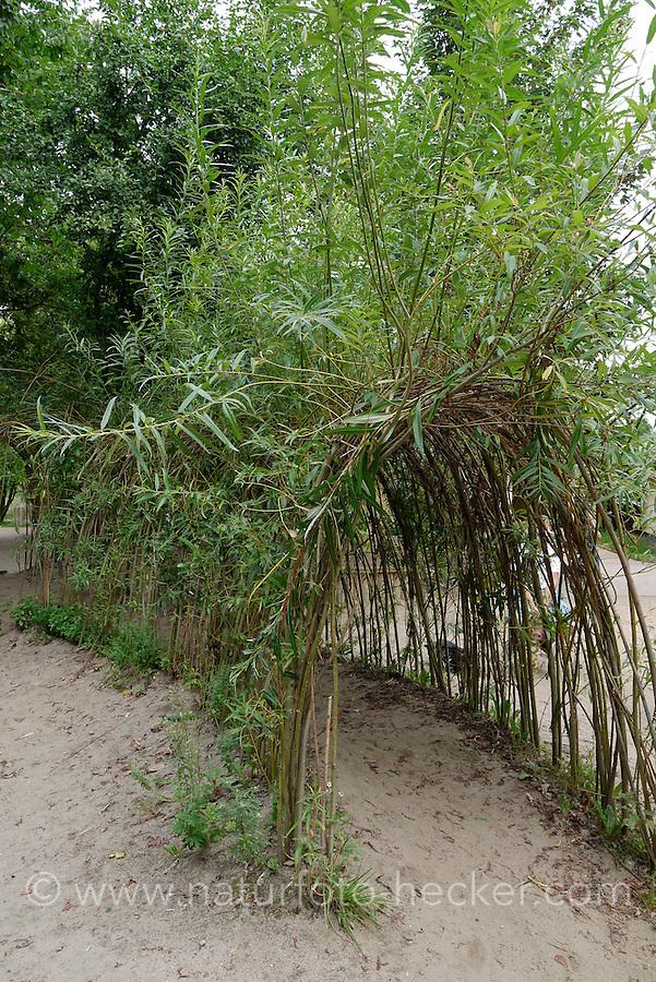 Weidentunnel, Weiden-Tunnel, Zweige von Weide wurden tunnelförmig in die Erde gesteckt und sind wieder angewachsen, Kopfweide, Salix spec.,