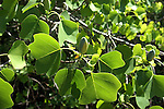 The tuliptree has greenish yellow tulip shaped flowers that are usually found at the top of the tall tree.  The unopened bud is two toned green.