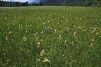 Weidmoos bei Oberammergau, Ettal, NSG Ettaler Weidmoos, Kalkflachmoor, Flachmoor, Moor, Alpenwiese, Blumenwiese, Bergwiese, Alpen, Ammergebirge, Bayern, Deutschland. Alps, Bavaria, Germany