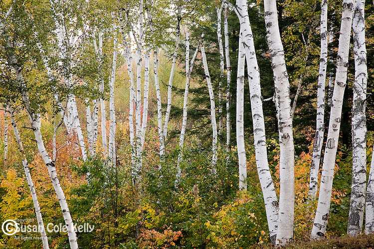 The Shelburne Birches mark a crossing of the Appalachian Trail in Shelburne, NH
