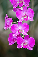 A strand of Orchids blossoms.