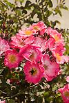 ROSA CHUCKLES, HYBRID, FLORIBUNDA ROSE, AND BEES