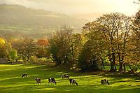 Holstein milking cattle grazing  at Redmire, North Yorkshire. Autumn scene .