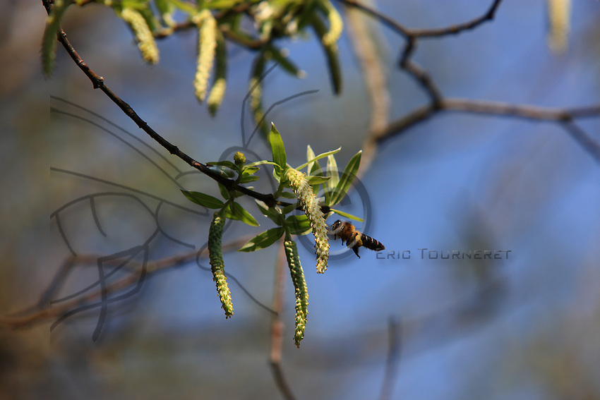 A field bee approaches a tree in bloom. The Apis Laboriosa is the largest pollinator of mountain flora. It has been seen at an altitude of 13,500 feet.