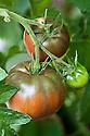 Russian tomato 'Black Krim', originally from the Crimea. Glasshouse, late August.
